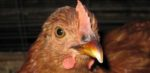 avian flu countdown Aug 27