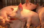 avian flu in pigs