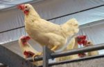 Cage-free-white-hens.jpg