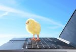 Chick standing on a laptop computer