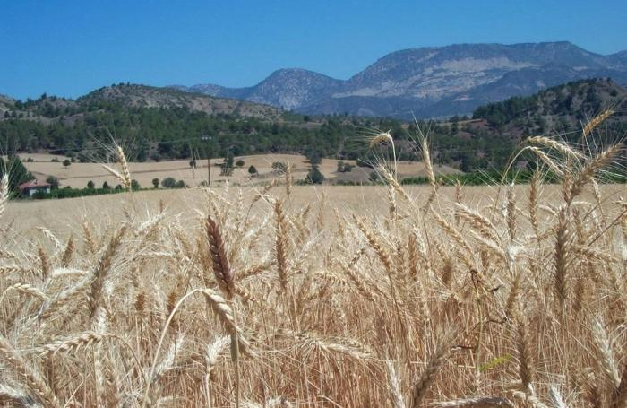 Wheat-with-mountains