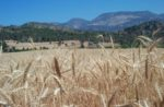 wheat with mountains