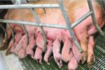 hyperprolific sow with piglets