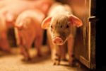 growth performance in weanling pigs