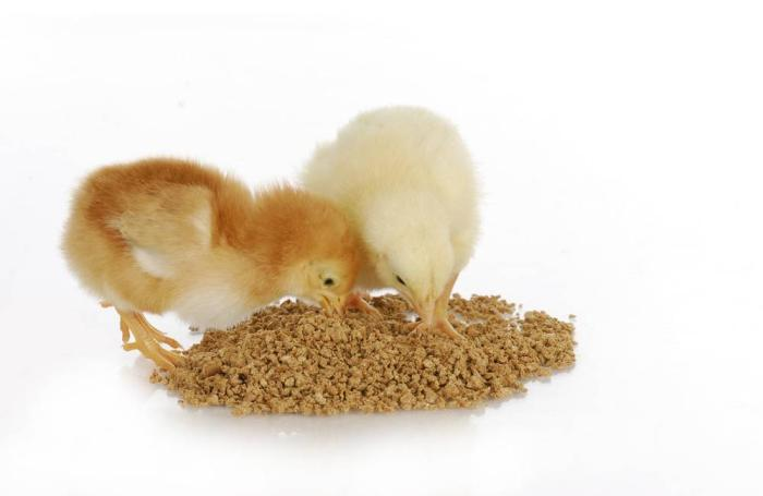 Chicks-eating-from-feed-pile