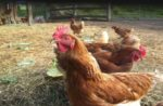 hens-in-chicken-coop.jpg