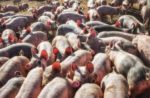 sows in group housing