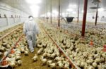 poultry-farm-and-veterinarian