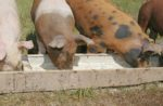 pigs eating soybean meal