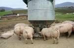 pigs eating food from silo