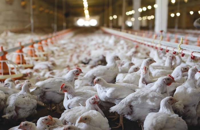 white-broiler-chickens-in-house