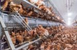 cage-free-layer-pullets-1512EIuscagefree.jpg