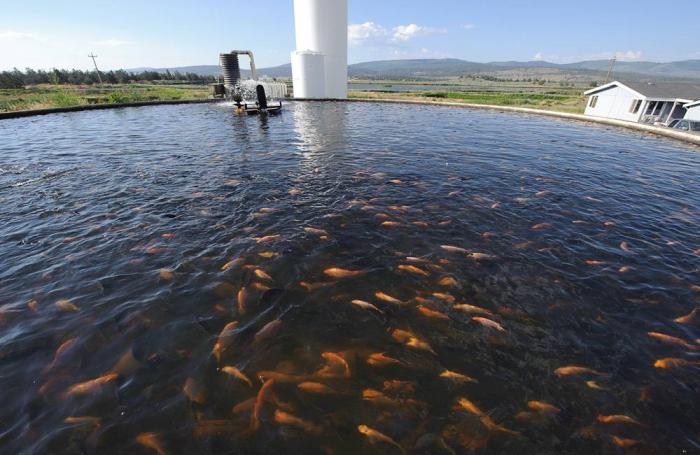 Aquaculture must become more efficient to meet demand for Raising tilapia in a pool