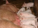 piglets suckling a sow