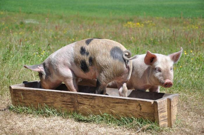 Pigs-eating-from-a-trough