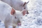 pigs in snow 1511