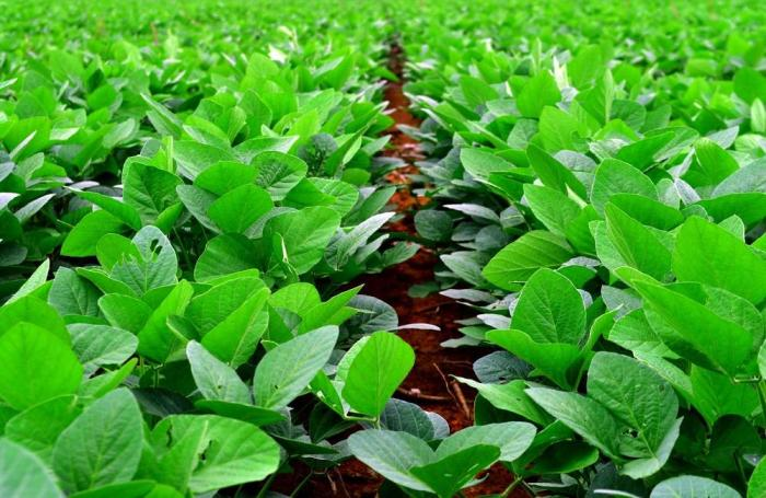 soybean-plant-in-field.jpg