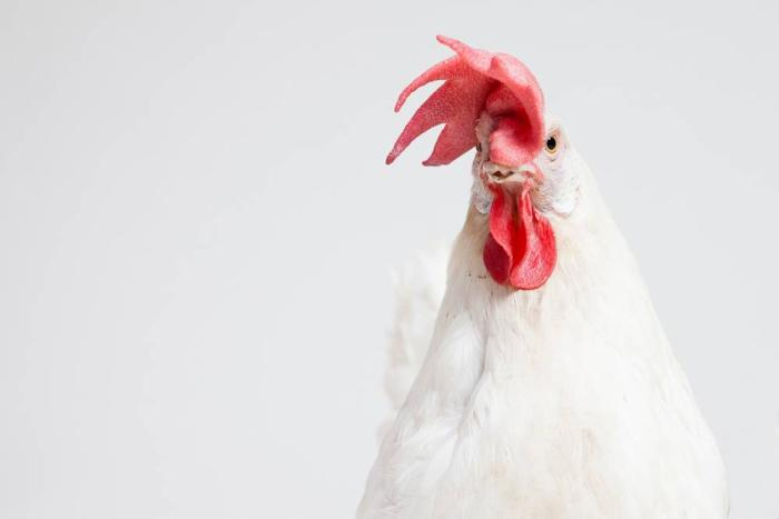 Alternatives to soybean meal for laying hens | WATTAgNet