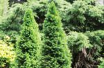 coniferous trees functional fiber