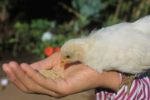 poultry nutrition chick eating