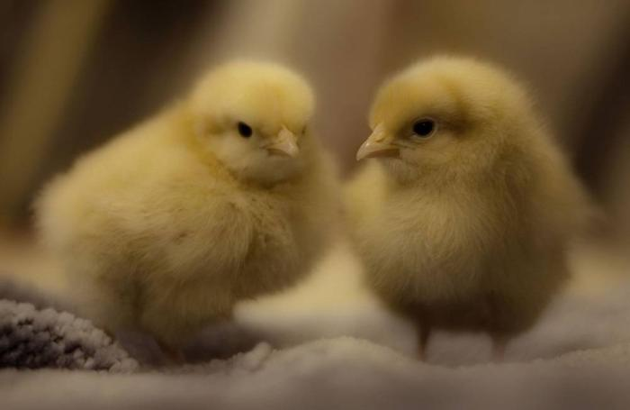 Two-chicks
