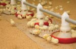 broiler chicks eating feed