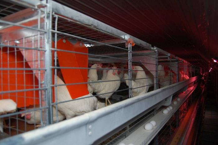 How Canada will phase out conventional cages by 2036| WATTAgNet