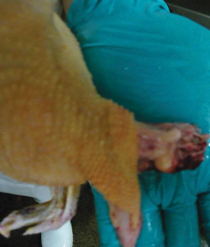 Loss-of-neck-skin-1603PIpoultryprocessing2.jpg