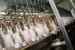 A poultry processing line.