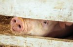 antibiotic-reductions-in-swine-production