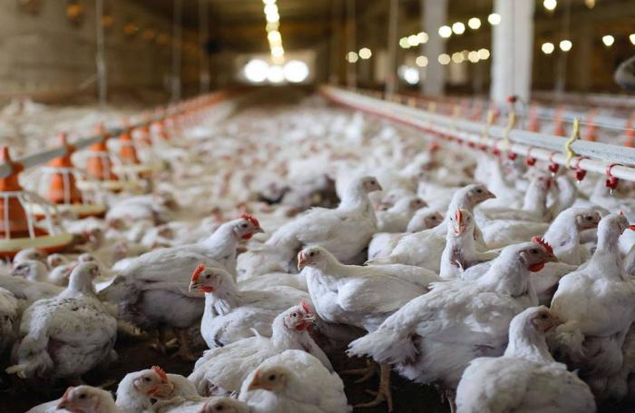 broiler-chickens-in-house