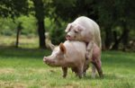 mating pigs in pasture