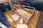 sow and piglets in modern pen