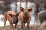 young pigs in pasture