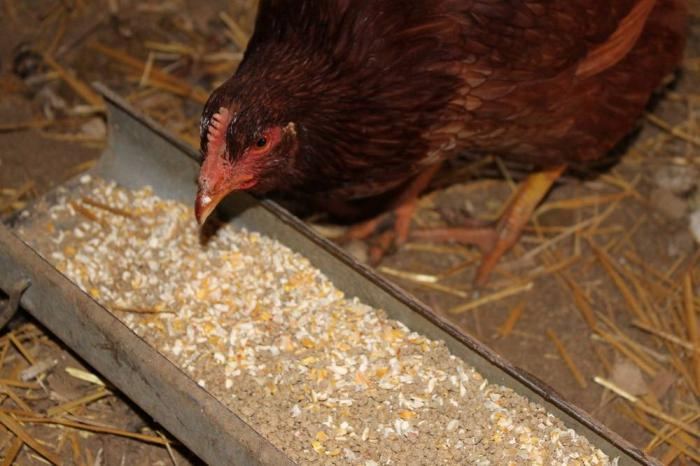 Brown-hen-eating-corn