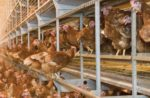 perching-floor-level-cage-free-brown-hens.jpg