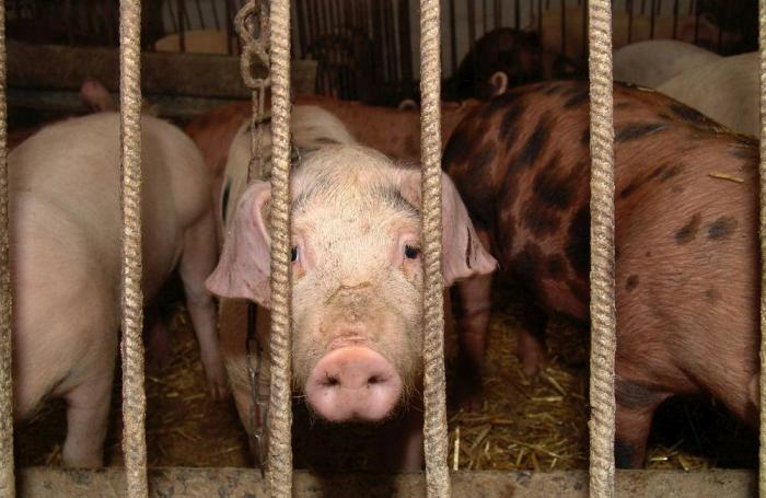 6 Pig Diseases You Should Know Wattagnet