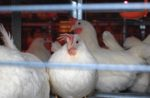 white-hens-enriched-cage.jpg