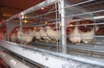 Enriched-colony-cage-hens-perching.jpg