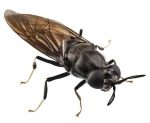 soldier-fly-1606insectpoultryfeed2.jpg