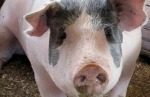 Pig inventory March