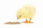 chick eating feed 1603