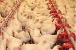 AGP-alternatives-in-poultry-production-1605AGPs1.jpg