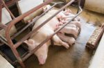 sow and piglets nursing