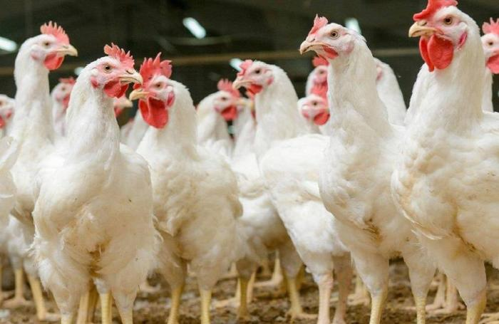 Learn about global broiler trends at VIV Asia 2017 | WATTAgNet