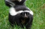 Avian influenza skunks