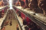 Allowing enough space in the aisleways for bird activity and worker movement through the system is an important consideration when placing an aviary system in a house. | Courtesy Tecno Poultry