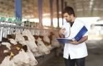 metabolic disorder in dairy cows