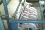 sow and piglets in lactation crate