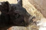 young-pig-drinking